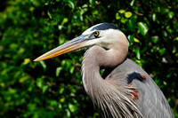Great Blue Heron for the Alabama Coastal Birding Trail video.