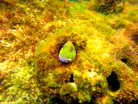 A Molly Miller Blenny underwater at Florida Point in Orange Beach, AL.